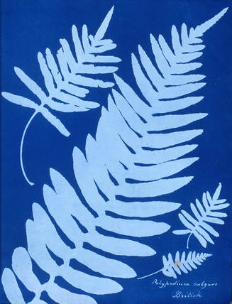 Cyanotype of Polypodium vulgare, 1853.