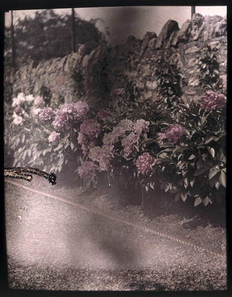 Autochrome of a bed of rhodedendrons under a wall,  c 1910.