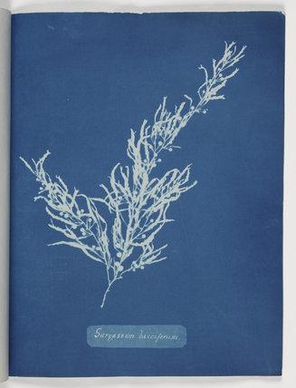 'Sargassum Bacciferum', 1843.
