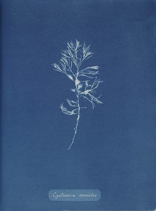 'Cystoseira ericoides', 1843.