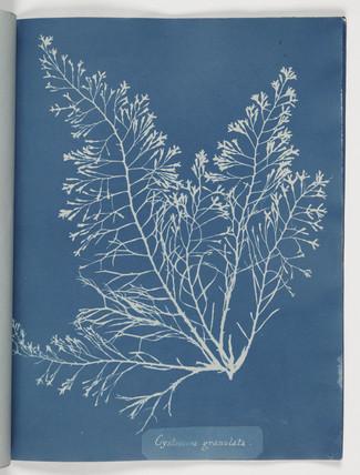 'Cystoseira granulata', 1843.