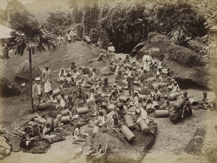 Tea pluckers sorting out coarse tea leaves, Ceylon, c 1870.