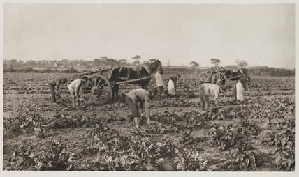 'The Mangold Harvest', 1887.