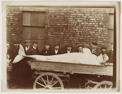 White Whale Shot in the River York, c. 1910.