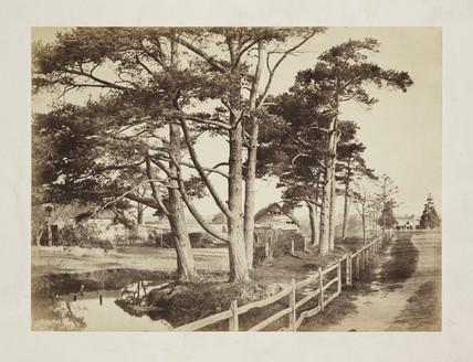 'Scotch Firs', c.1854.;