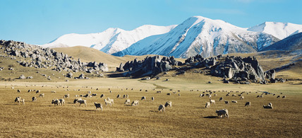 Sheep grazing amongst limestone outcrops, New Zealand, July 2001.