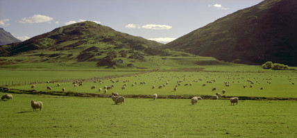 Sheep farming, Lower South Island, New Zealand, July 2001.