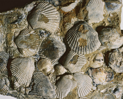 Fossil oyster and scallop shells, New Zealand, 1996.