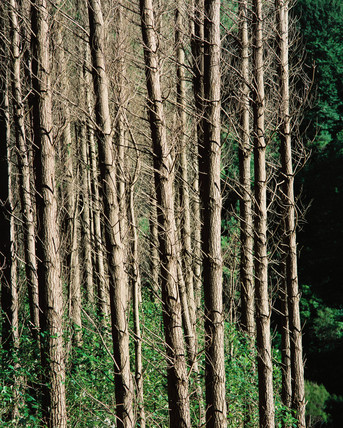 Pine forests, New Zealand, 2000.