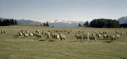 Sheep grazing, Lower South Island, New Zealand, August 1998.