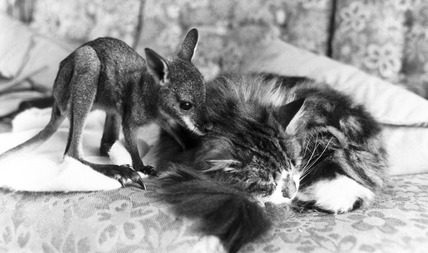 Wallaby and cat, April 1978.