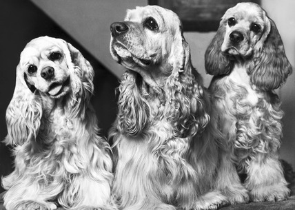 American cocker spaniels, March 1969.
