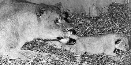 Lioness and cub, August 1971.