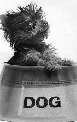Yorkshire terrier puppy, January 1971.
