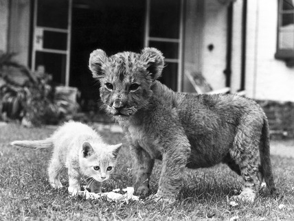 Lion cub and kitten, 1979.
