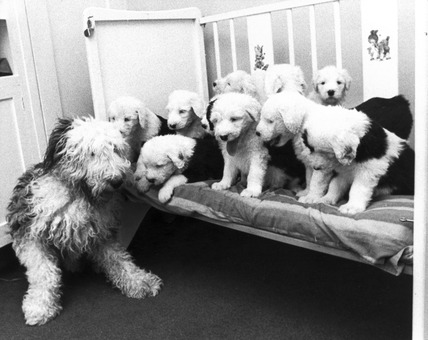 Old English sheepdog and puppies, March 1974.