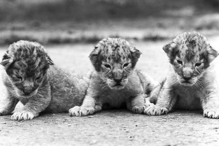 Lion cubs, Windsor Safari Park, May 1988.
