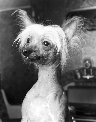 Chinese crested dog, December 1968.
