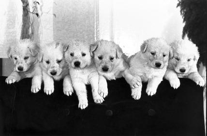 White Alsatian puppies, c 1980s.
