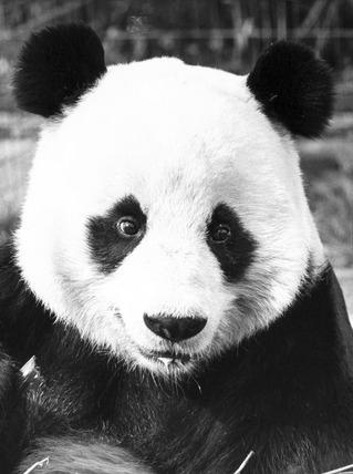 Chia-Chia the panda, London Zoo, April 1980.