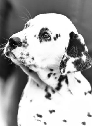 Polly the dalmatian, April 1987.