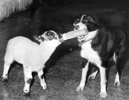 Sheepdog feeding an orphan lamb, February 1977.