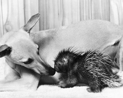 Dog and baby porcupine, February 1977.