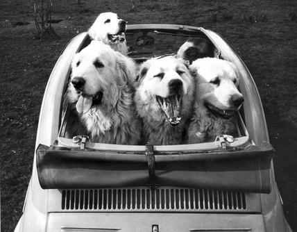 Car full of dogs, 1960s.