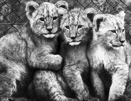 Lion cubs, December 1972.