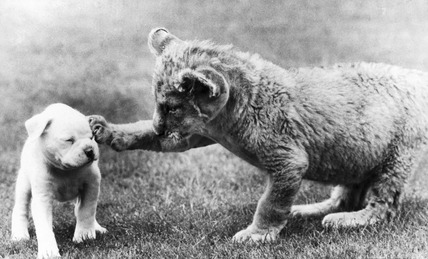 Puppy and lion cub, June 1986.