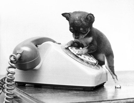 Chihuahua and telephone, March 1973.