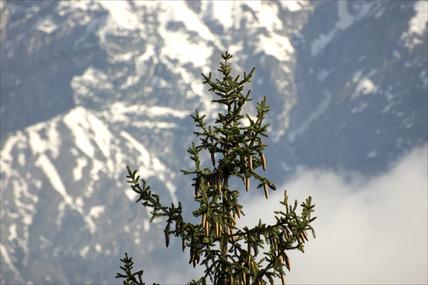 Fir tree with cones, Innsbruck, Austria, 2007.
