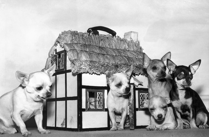 Chihuahuas with thatched cottage carrying box, March 1957.