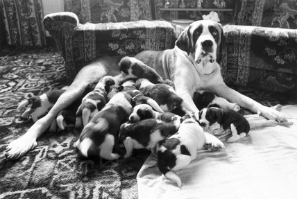St Bernard dog with puppies, November 1981.