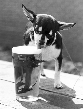 Chihuahua with a pint of beer, June 1981.