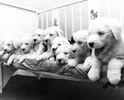 Old English sheepdog puppies, March 1974.