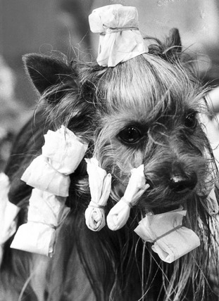 Yorkshire terrier in curlers, March 1973.