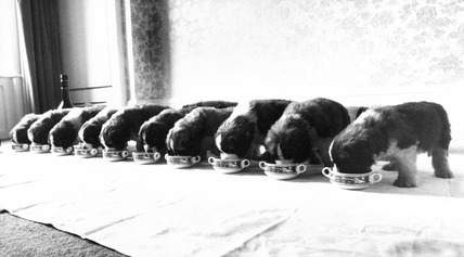 St Bernard puppies, c 1980s.