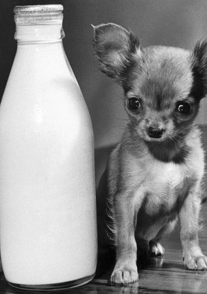 Chihuahua puppy with pint of milk, 1968.