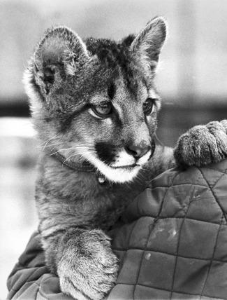 Young feline, February 1972.
