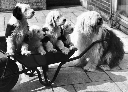 Puppies in a wheelbarrow, May 1978.