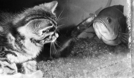 Kitten with fish in a tank, May 1973.