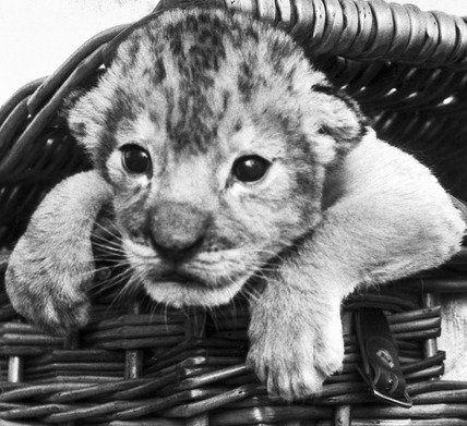 Lion cub, Calderpark Zoo, Glasgow, April 1975.