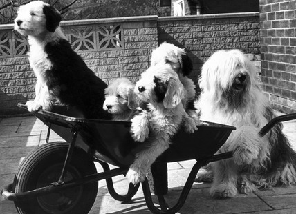 Puppies in a wheelbarrow, May 1978.