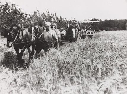 Harvesting wheat using horses, c 1930s.