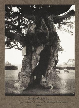 Cowper's Oak. Yardley Chase, Northamptonshire. 1906