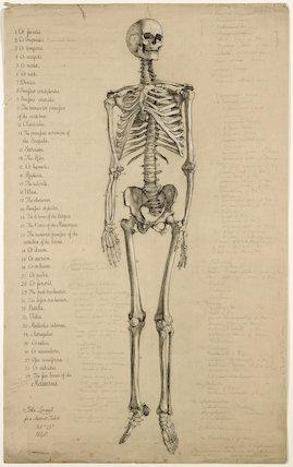Anatomical drawing of a human skeleton, England, 1840.