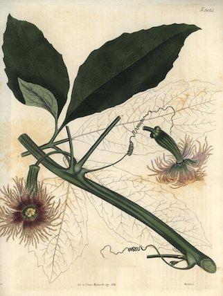 Female pedate feuillaea Feuillaea pedata or Telfairia pedata Hook