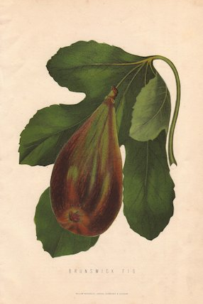 Ripe fruit and leaf of the Brunswick fig, Ficus carica.