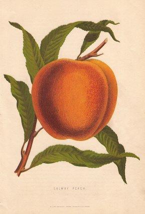 Ripe fruit and leaves of the Salway Peach, Prunus persica.